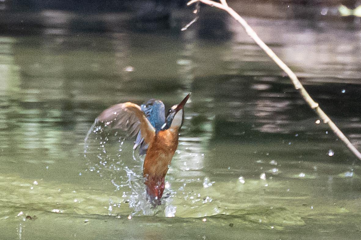 20190817-カワセミ飛込み2