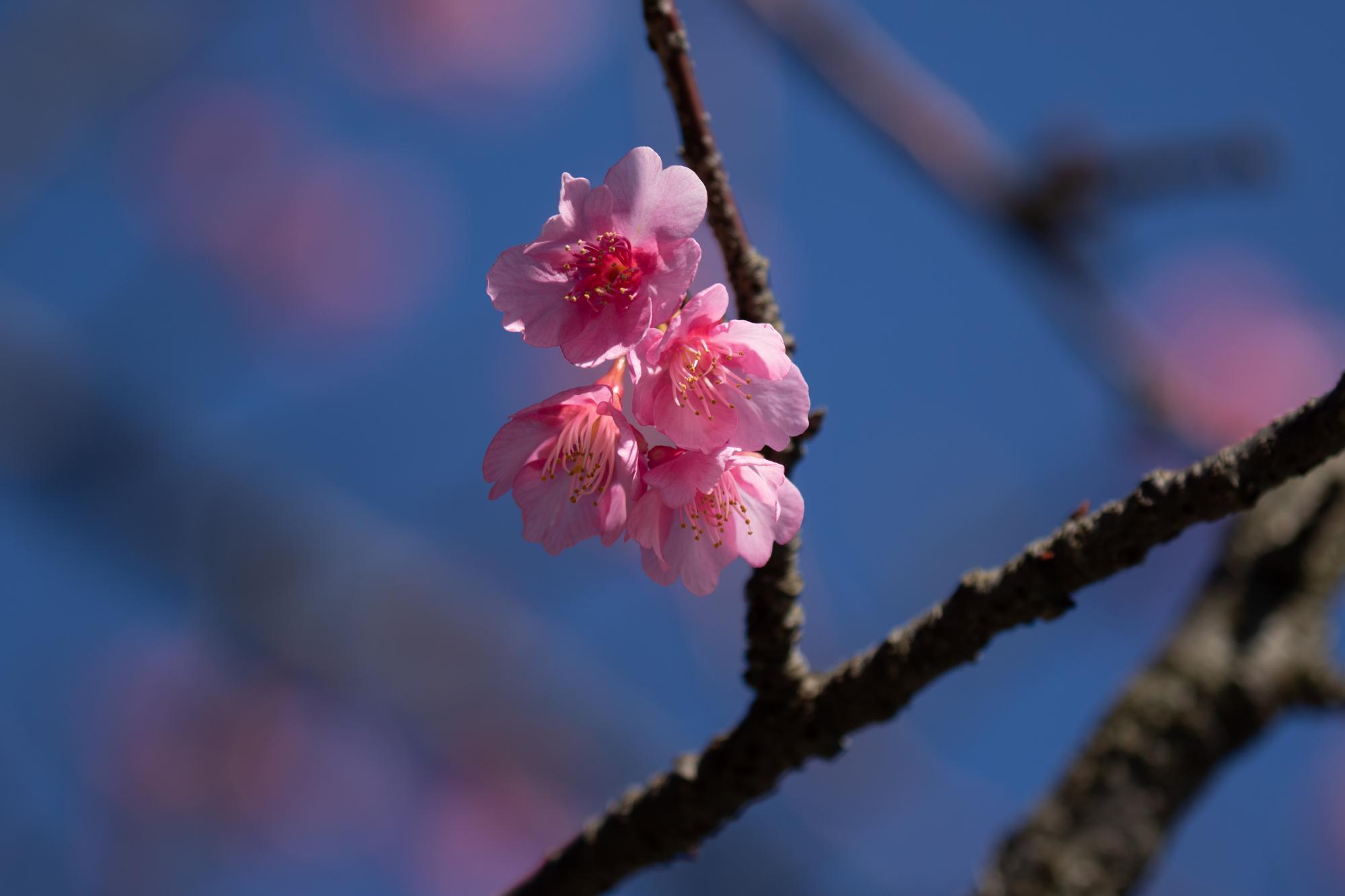 20200113-河津桜