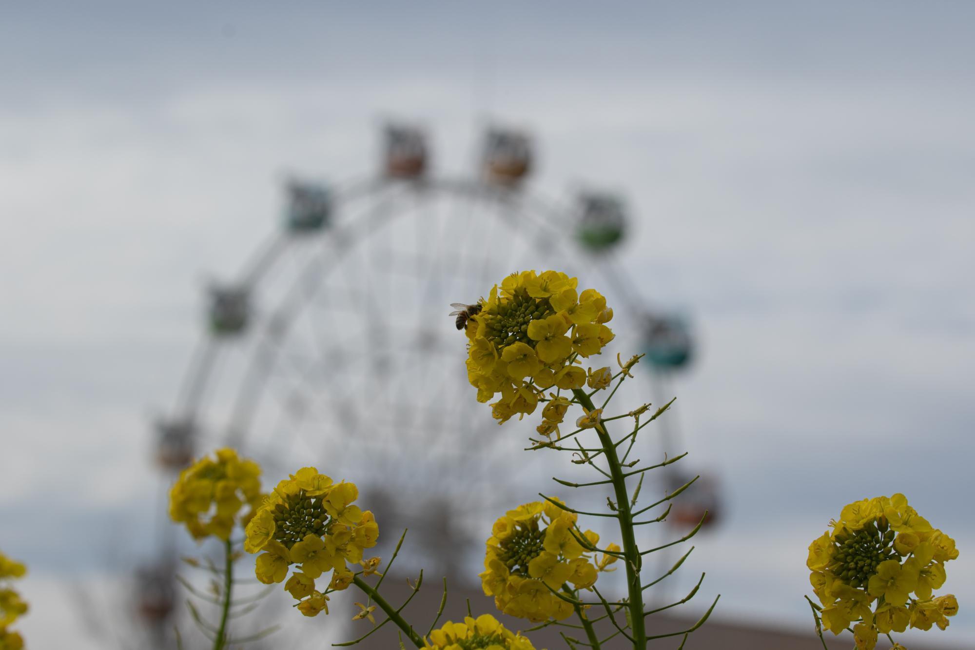 20200212-菜の花