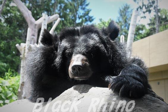 ヒマラヤグマ01 円山動物園