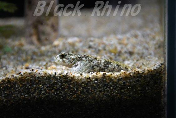 カンキョウカジカ02 サンピアザ水族館