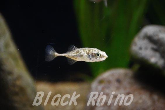 トミヨ属淡水型02 サンピアザ水族館