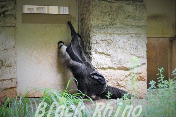 オオアリクイ01 東山動物園