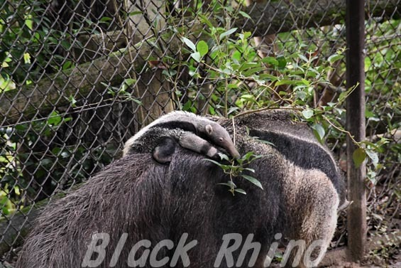 オオアリクイ02 東山動物園