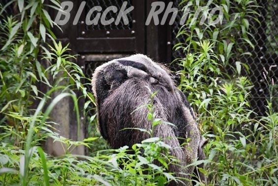 オオアリクイ03 東山動物園
