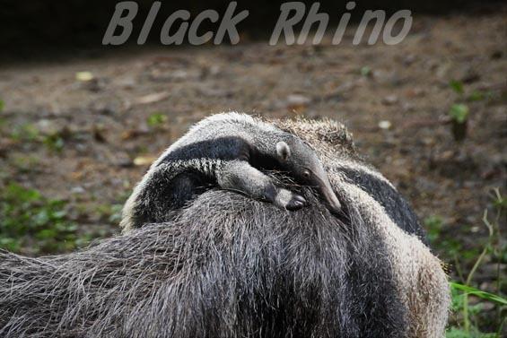 オオアリクイ04 東山動物園