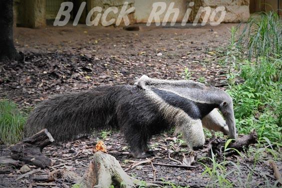 オオアリクイ06 東山動物園