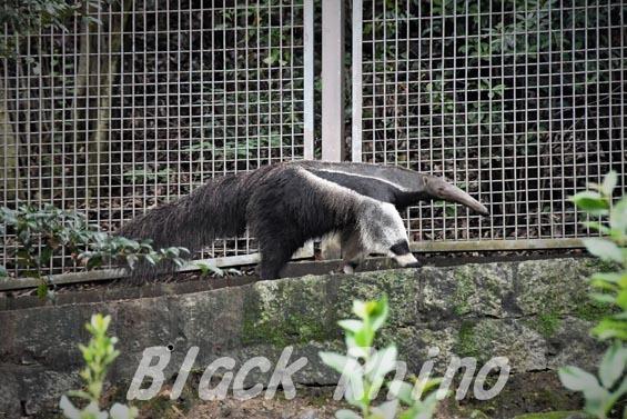 オオアリクイ07 東山動物園