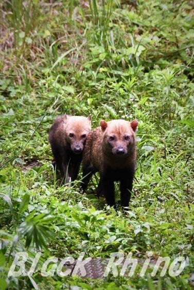 ヤブイヌ01 東山動物園