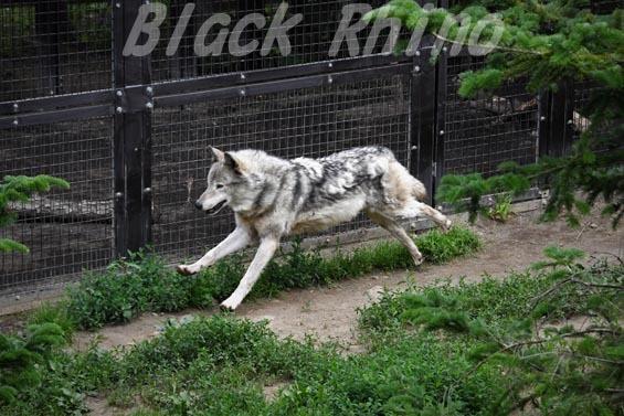 シンリンオオカミ01 円山動物園