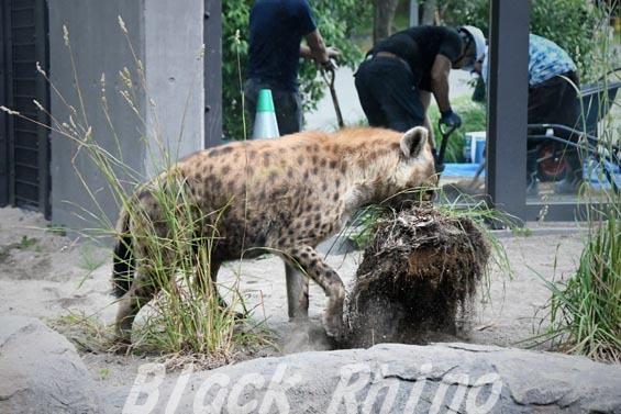 ブチハイエナ02 円山動物園