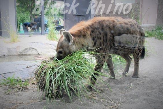 ブチハイエナ03 円山動物園