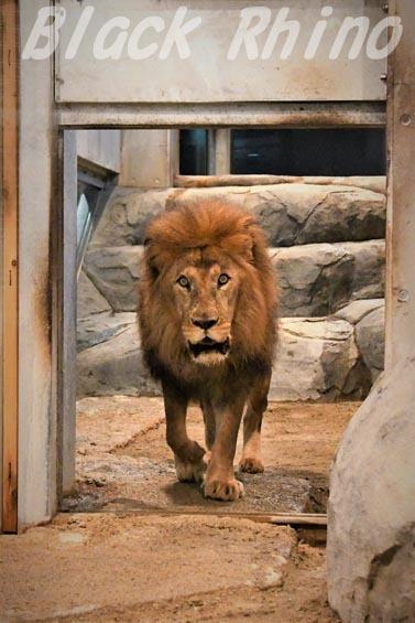 ライオン01 円山動物園