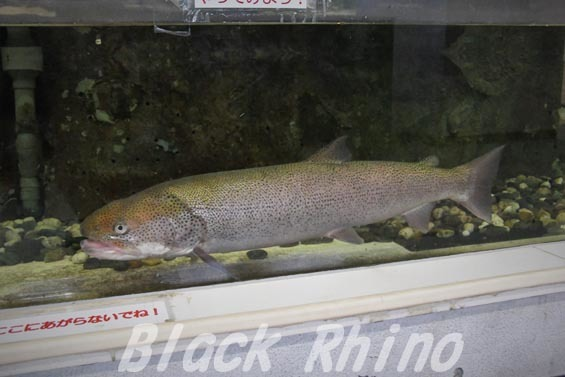 イトウ01 サンピアザ水族館