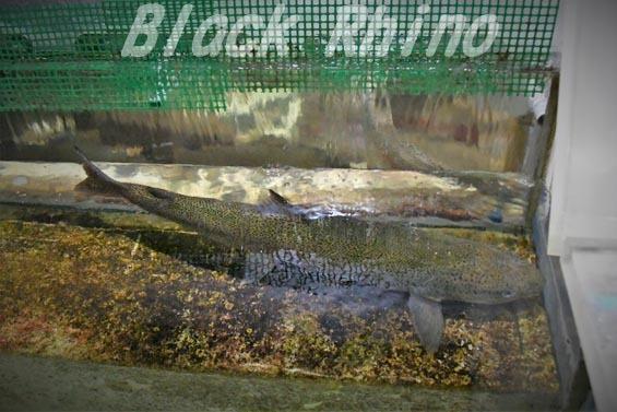 イトウ02 サンピアザ水族館