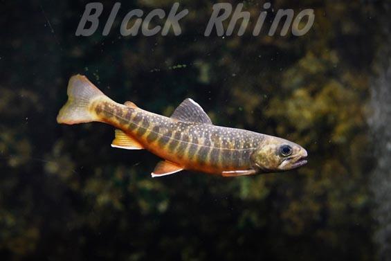 オショロコマ01 サンピアザ水族館
