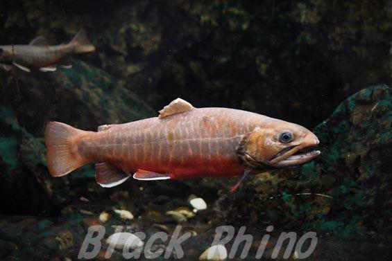 オショロコマ02 サンピアザ水族館