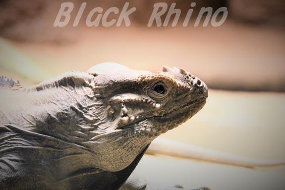 サイイグアナ01 円山動物園