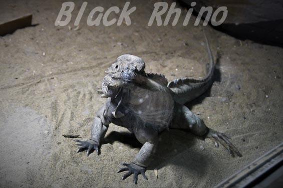 サイイグアナ02 円山動物園