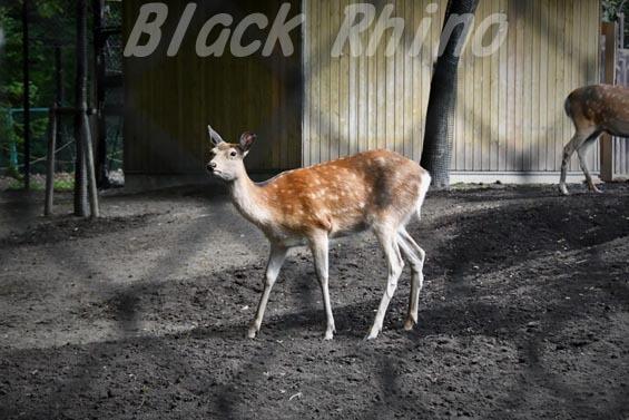 エゾシカ01 円山動物園