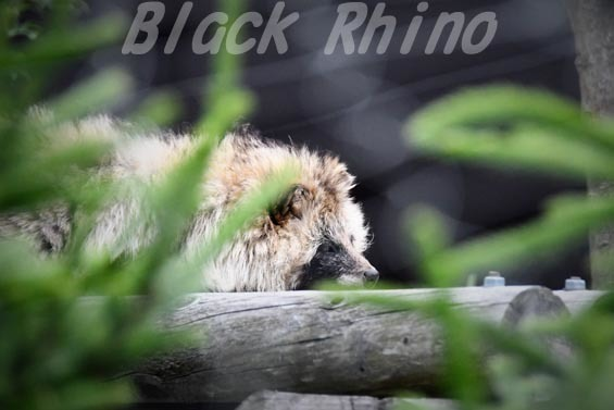エゾタヌキ01 円山動物園