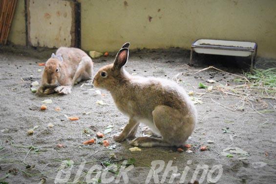エゾユキウサギ01 円山動物園