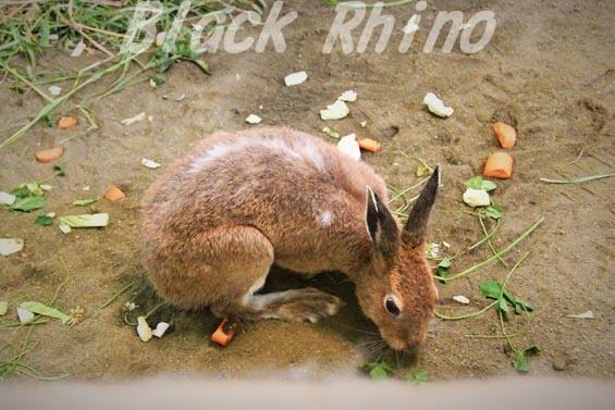 エゾユキウサギ02 円山動物園