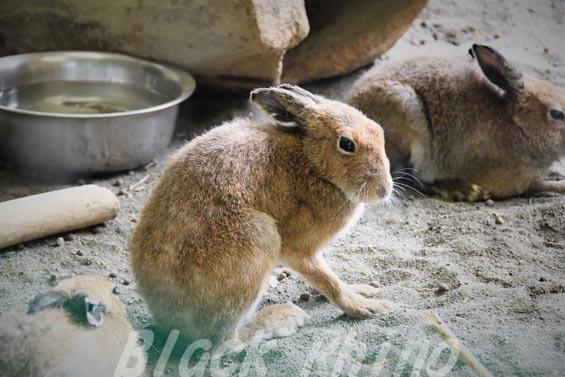 エゾユキウサギ03 円山動物園
