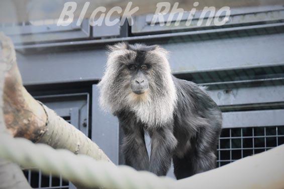 シシオザル01 円山動物園