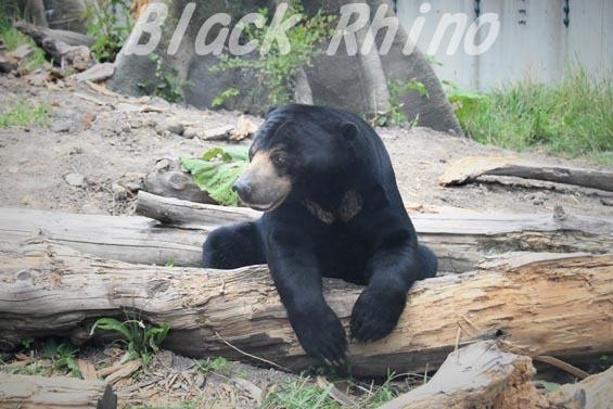 マレーグマ02 円山動物園