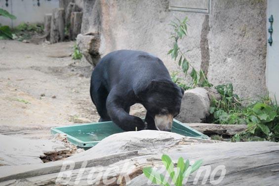 マレーグマ03 円山動物園