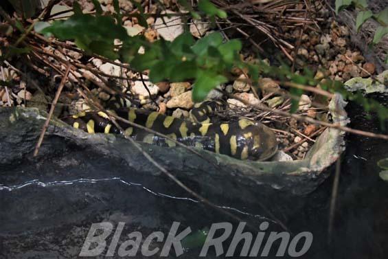 オビタイガーサラマンダー01 円山動物園