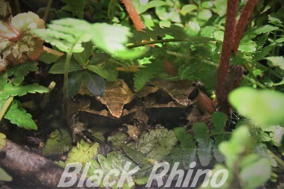 ミツヅノコノハガエル01 円山動物園