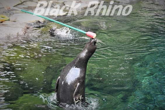 バイカルアザラシ06 箱根園水族館