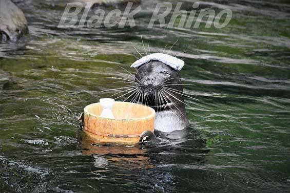 バイカルアザラシ08 箱根園水族館