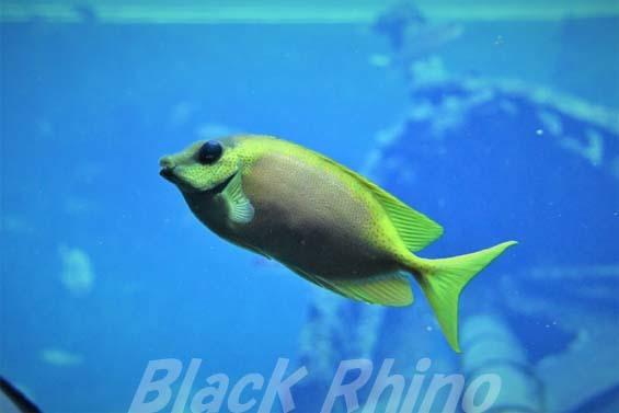 サンゴアイゴ01 箱根園水族館