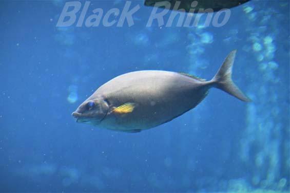 ハナアイゴ01 箱根園水族館
