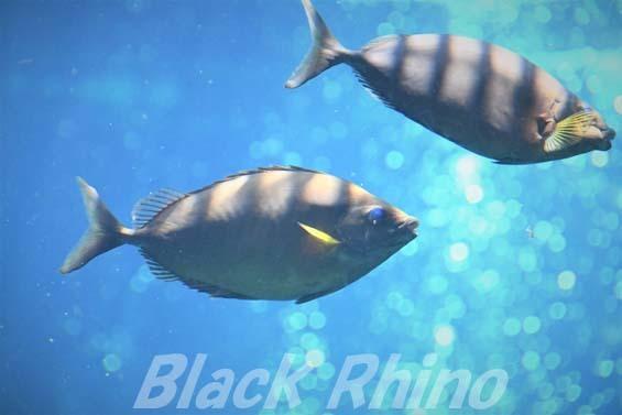 ハナアイゴ02 箱根園水族館
