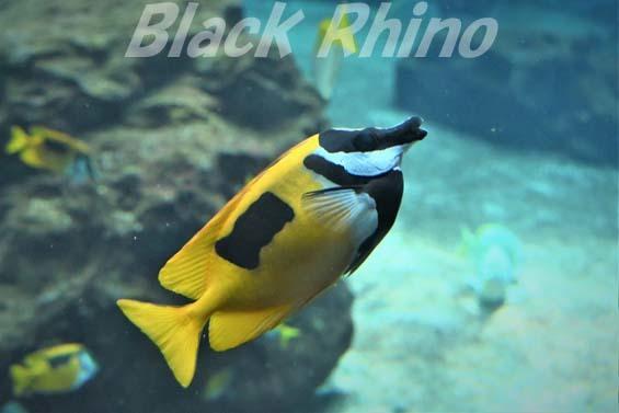 ヒフキアイゴ01 箱根園水族館