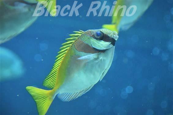 ヒメアイゴ01 箱根園水族館