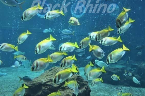 ヒメアイゴ02 箱根園水族館