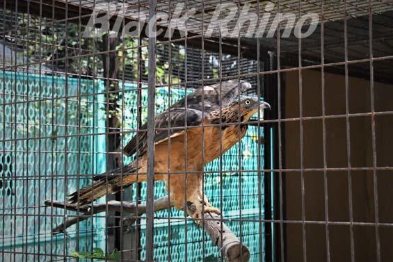 ハチクマ02 姫路市立動物園