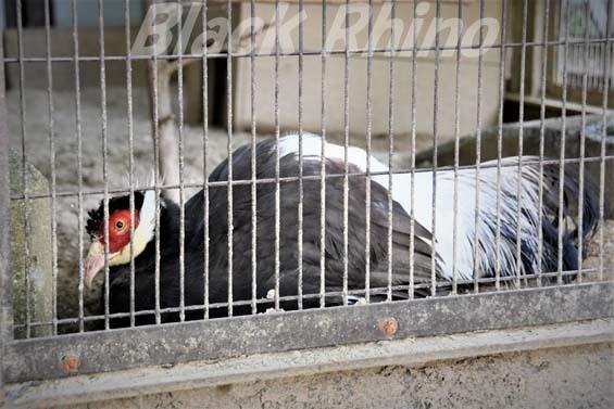 ミミキジ01 姫路市立動物園