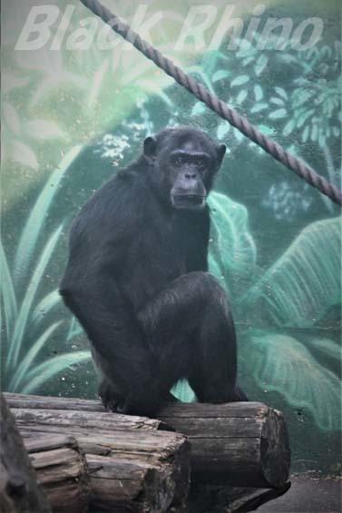 ヒガシチンパンジー パピー01 伊豆シャボテン公園
