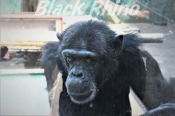 ヒガシチンパンジー パピー02 伊豆シャボテン公園