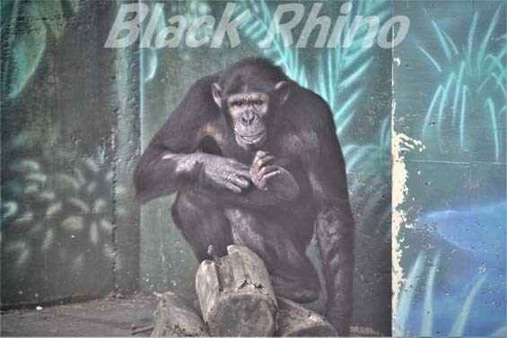 ヒガシチンパンジー ピノ01 伊豆シャボテン公園