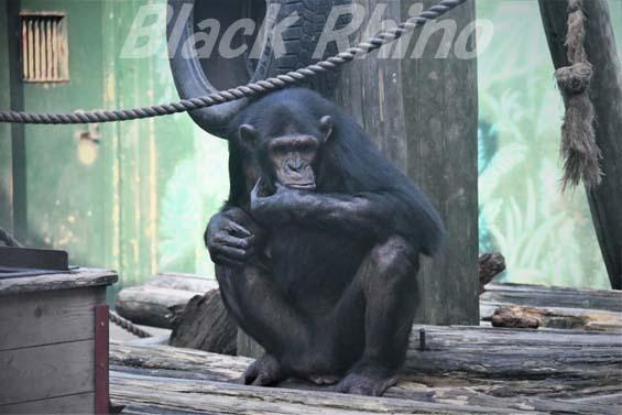 ヒガシチンパンジー ピノ02 伊豆シャボテン公園
