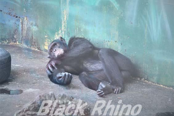 チンパンジー アクセル01 伊豆シャボテン公園