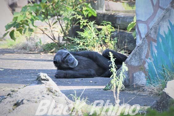 チンパンジー ジョアン 伊豆シャボテン公園