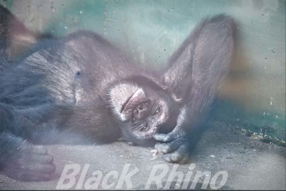 チンパンジー タカ01 伊豆シャボテン公園